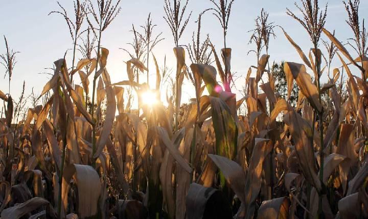 Suspensão de PIS/Cofins na importação de milho dá alívio ao setor de carnes